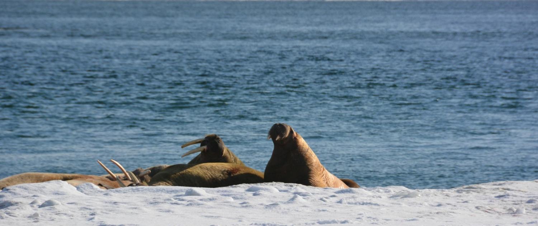 Sichtung einer Walross Familie bei einer Skitour auf Spitzbergen